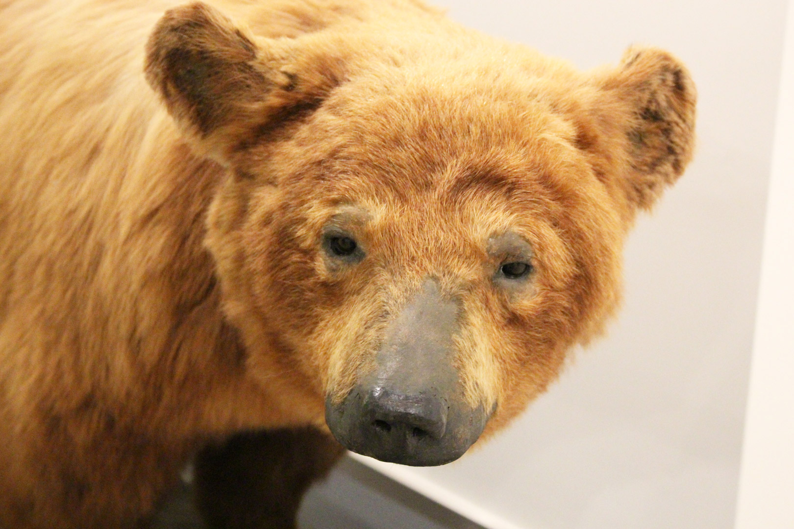 Ours provenant de l'importante collection de mammifères du Musée canadien de la nature, accompagne le roman « Bear » de Marian Engel.
